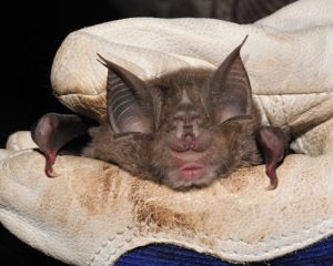 Picture of a Greater Horseshoe Bat
